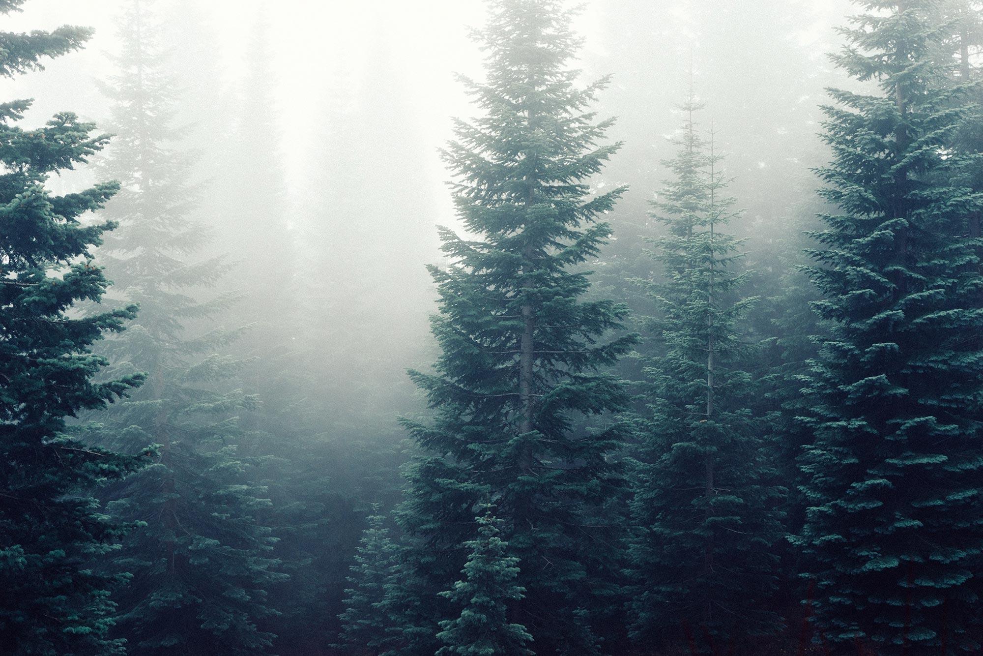 Pines?
